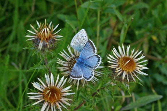 Chalkhill blues on carline thistle, Fleam Dyke